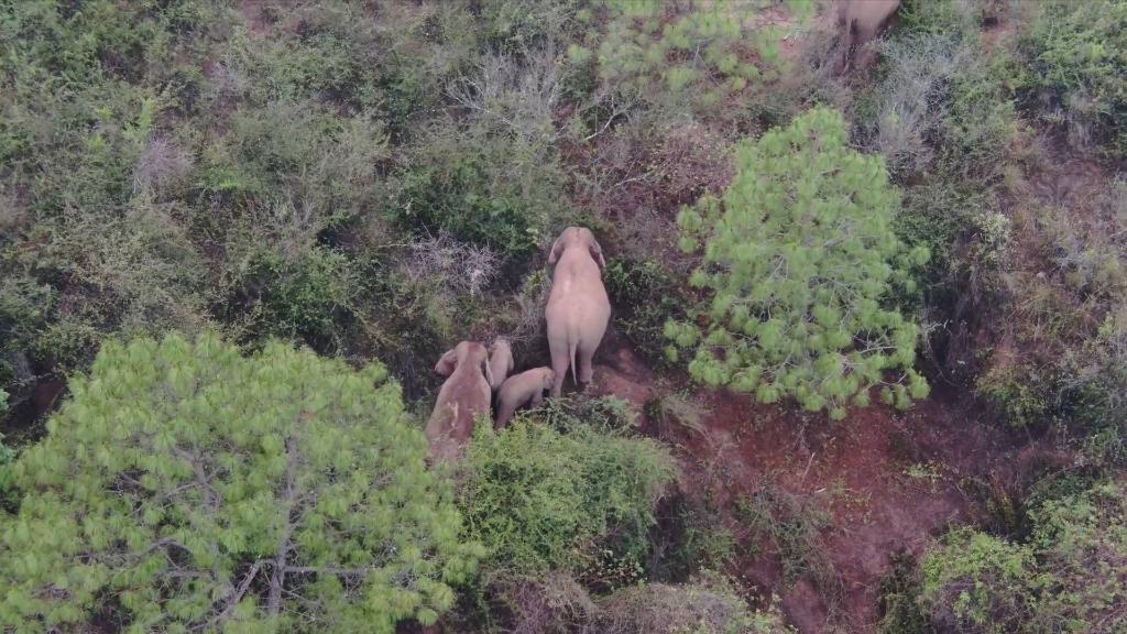云南北迁亚洲象群总体向西南迁移
