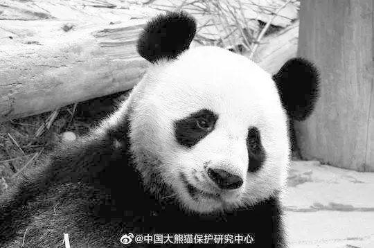 """旅泰大熊猫""""创创""""死亡结果通报:慢性心力衰竭急性发作"""