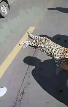 山西交警处理追尾在车中发现金钱豹 当时已死亡