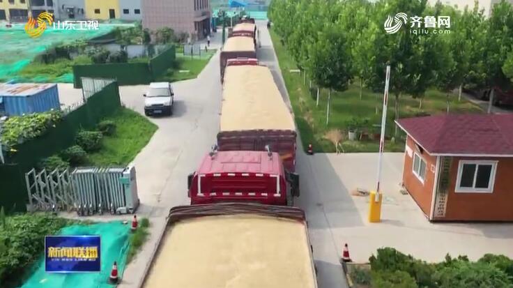 山东夏粮喜获丰收总产量达2569.2万吨 创历史最高水平