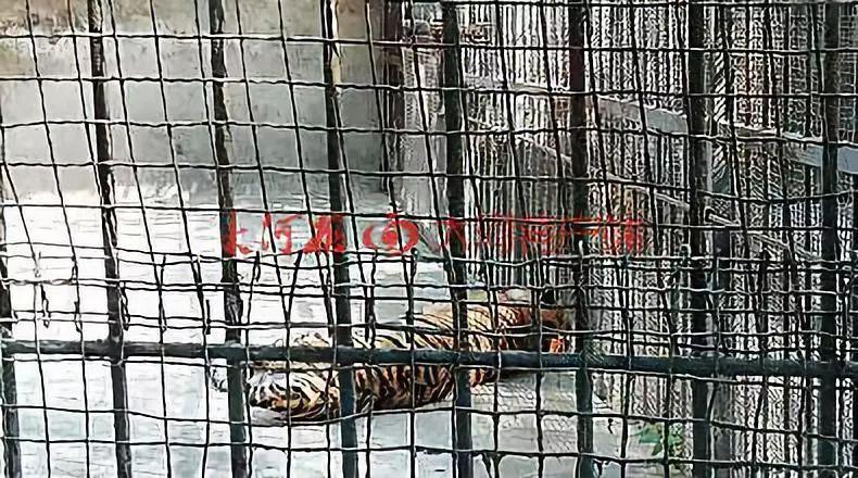 事发原阳,马戏团表演时出逃的幼虎死了……