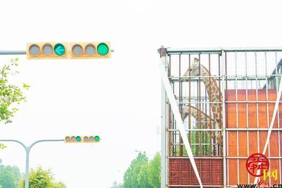 """长颈鹿""""搬家""""了!泉城欧乐堡动物王国30头长颈鹿入住2万平米新家"""