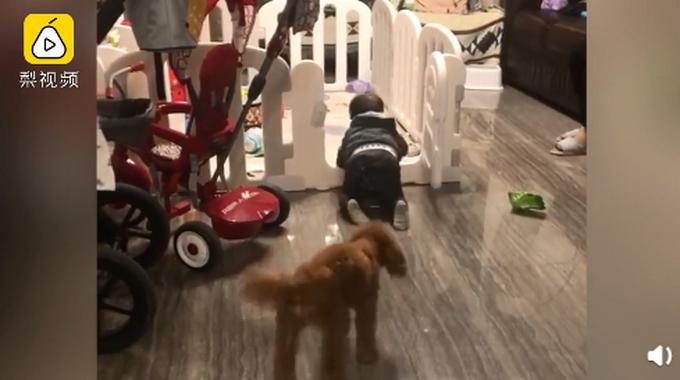 """牧娃犬?11个月大的宝宝爬出围栏被狗子吼回,首次""""越狱""""秒怂"""