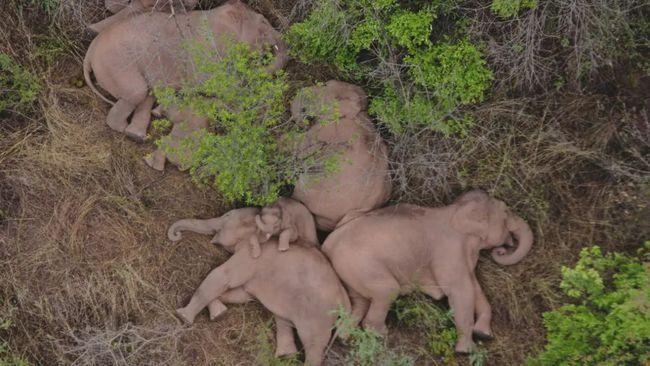 无人机拍下野象群睡觉休息画面 你知道哪些大象的冷知识?