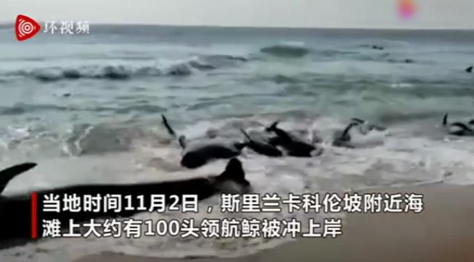 上百头鲸鱼在斯里兰卡搁浅 村民集体救援 但鲸鱼不断被冲上岸