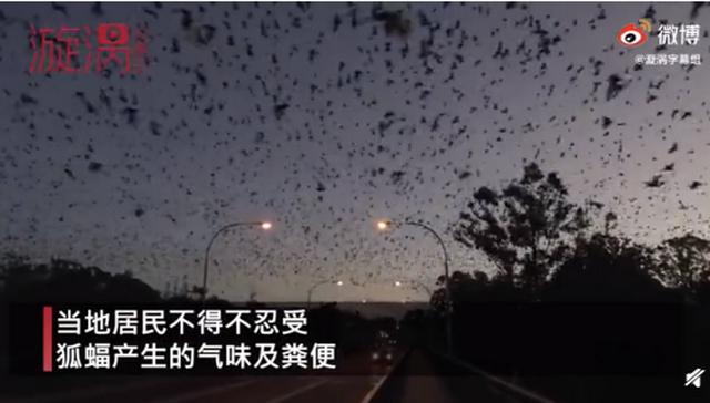 澳大利亚一地遭8万狐蝠入侵,黑压压一片场面骇人