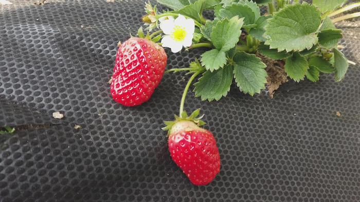 """历城:""""绿色通道""""帮助草莓种植户解决大麻烦"""
