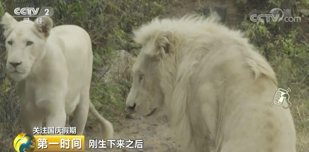 罕见!济南双胞胎白狮亮相 狮爸狮妈的第一反应竟是......