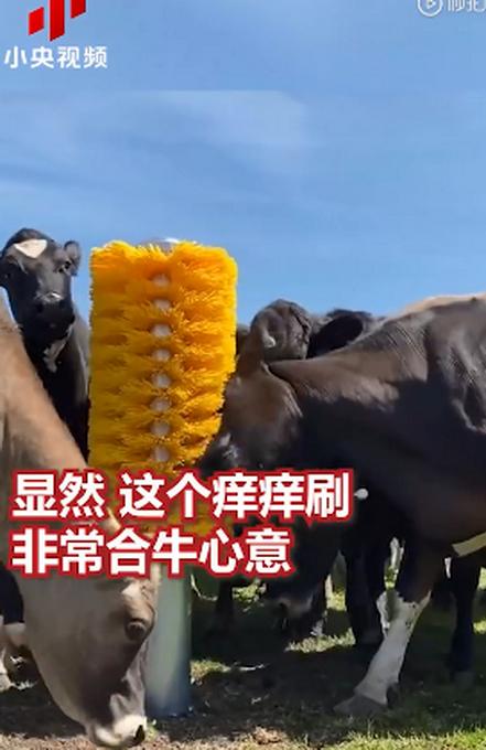 英国一家农场给牛群装了一个巨型痒痒刷,网友:看着我都痒了起来