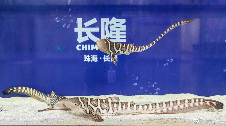 珠海长隆再次成功繁育濒危物种豹纹鲨