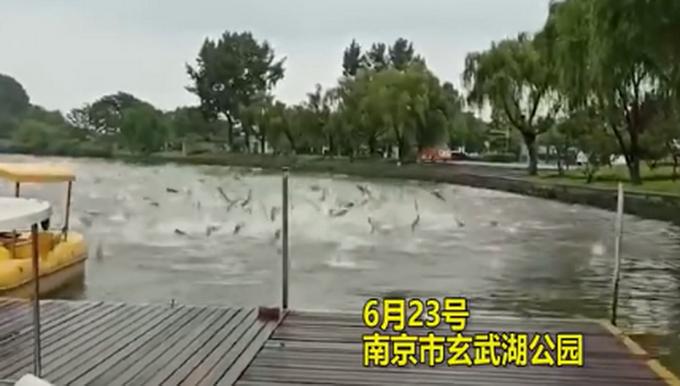 玄武湖公园现群鱼跳跃奇观是怎么回事?什么情况?终于真相了,原来是这样!
