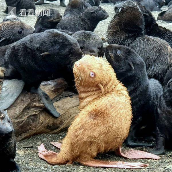 南极发现全球首只金色企鹅 网友瞬间脑洞大开...
