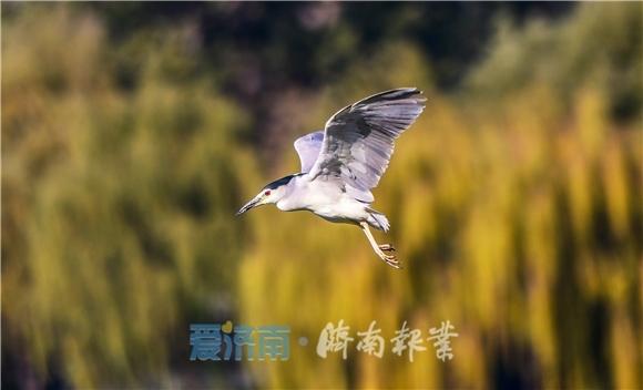 上百鹭鸟栖息大明湖 数量堪称历年之最