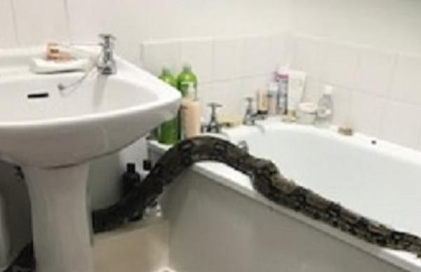浴室惊现2.4米长巨蟒 英国女子报警求助