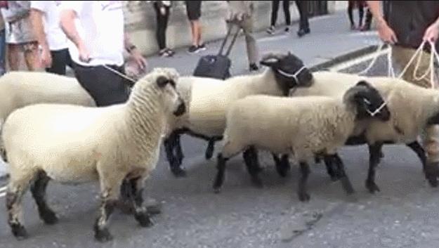 英國硬脫歐或提前 超半數農場將倒閉 農民牽羊上街抗議