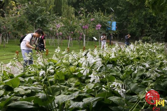 济南植物园玉簪花迎来盛花期 温润如玉竞相绽放