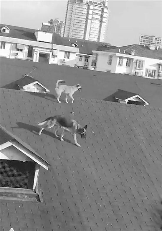 居民楼顶上养狗夏天气味难闻 城管:也是第一次遇到