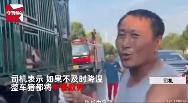 万能的消防员!300头猪集体中暑,消防浇水续命