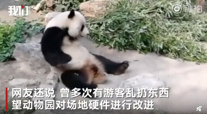 北京动物园回应游客砸熊猫  网友:都被吓到了