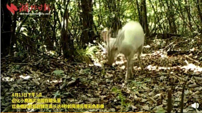 新申博:神农架现常见动物黑化小麂 神农架还发现了这些黑化动物