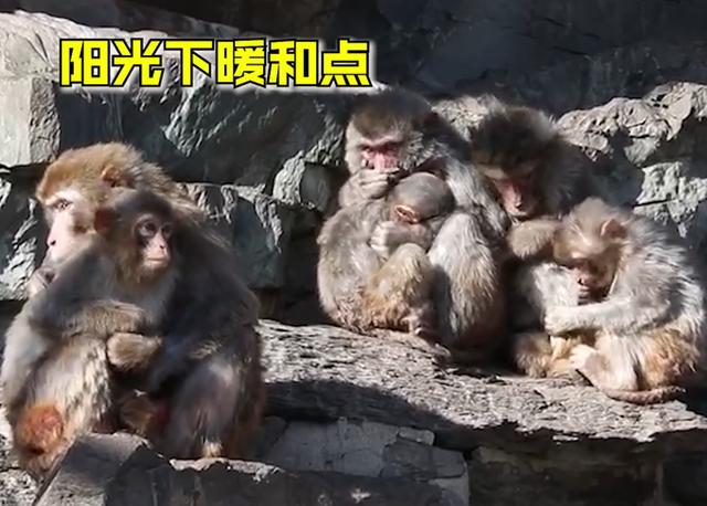 可怜巴巴!北京动物园猴子抱团取暖,画面情意浓浓,网友:看着可怜