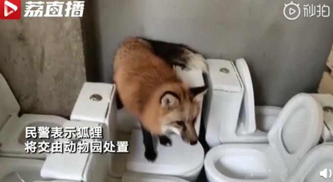 小狐狸闯进幼儿园被以为是标本,还淡定吃起火腿肠