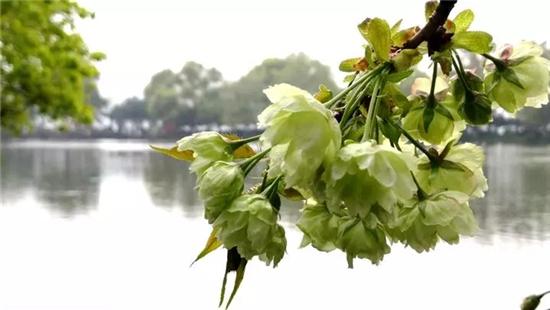 """美哭了!西湖边""""国宝级""""绿樱花盛放,随手一拍都好梦幻"""