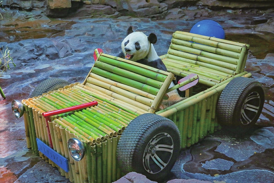"""二喜过生日,保育员赠""""豪车"""" 希望市民游客多出点子让大熊猫生活更丰富"""