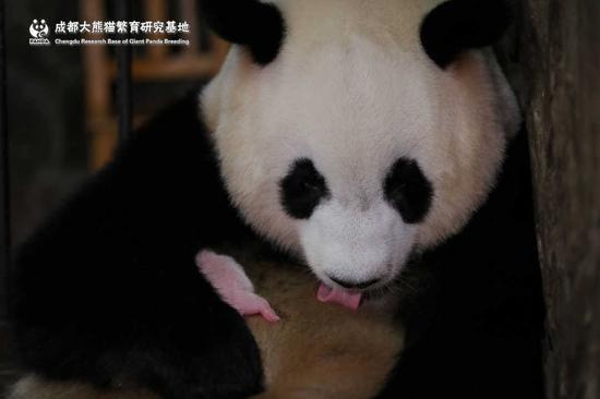 廊坊招聘_你能想象吗?全球最小熊猫幼仔身世 竟然还没有一颗鸡蛋重!