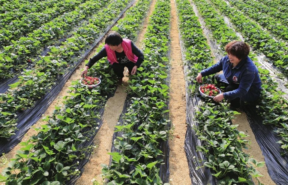 唐王街道特色果品种植助农增收