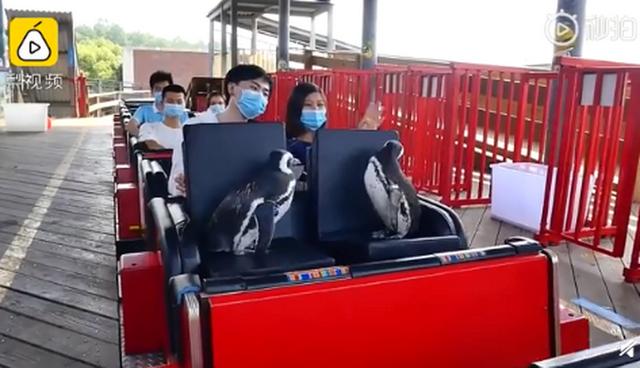 敲可爱!武汉欢乐谷有两只企鹅游客 他们还来到了黄鹤楼、长江大桥等地
