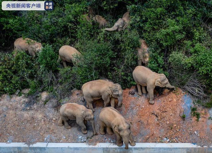 """继续""""象""""北!昆明做好安全准备 迎接15头亚洲象"""