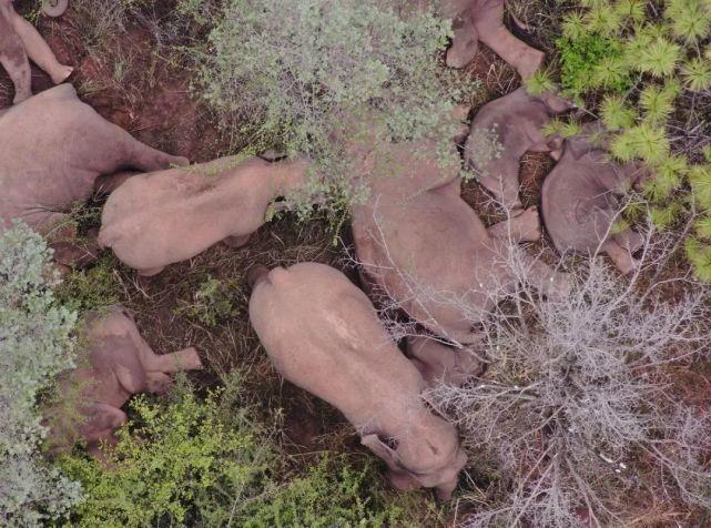 北迁象群向西南迁移 无人机投喂象食2.5吨