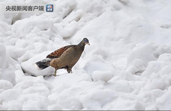 云南贡山发明国际濒危物种白尾梢虹雉
