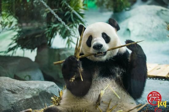 """泉城欧乐堡动物王国:4只""""国宝""""大熊猫来啦 16日开园与游客见面"""