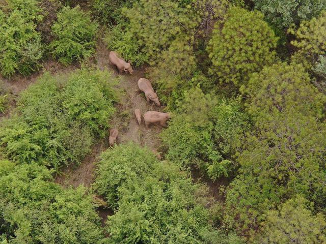 云南离群独象掉队12公里 追象人:它们自己知道象群有多少只