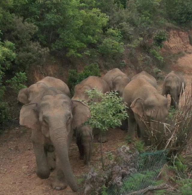 40余天400公里 云南直升机渣土车追踪堵截象群 象群为何突然迁徙?