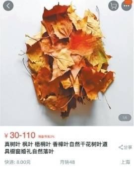 恐怖!枫树叶售价上百元 专家:有虫卵残留的落叶可能带来危害