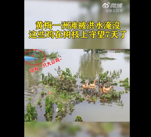 鸡群被洪水围困树枝7天!!具体是怎么回应的?附事件始末详情!