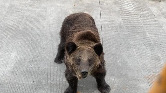 震惊!饲养员遭熊攻击身亡 现场疑曝光 到底发生了什么?