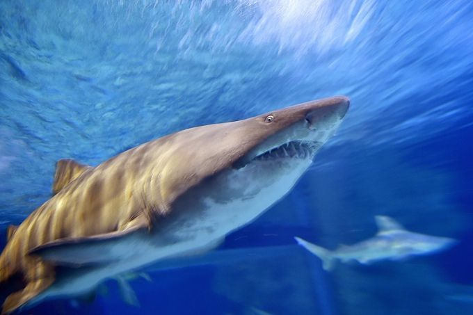 澳大利亚鲨鱼袭击事件再发 冲浪者这样击退鲨鱼