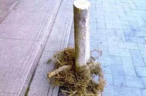 老婆生日他偷来金桔树当礼物 树龄30年竟价值不菲