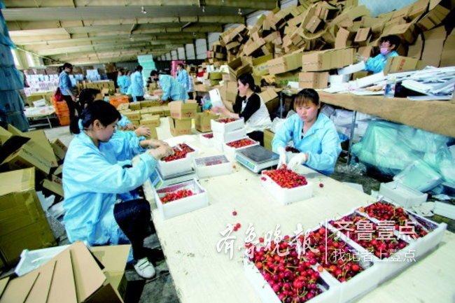 烟台大樱桃每斤便宜两块,每天400吨空运至200个城市