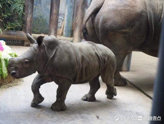 """济南野生动物园刚出生白犀牛宝宝首次和观众见面,名叫""""奔奔"""""""
