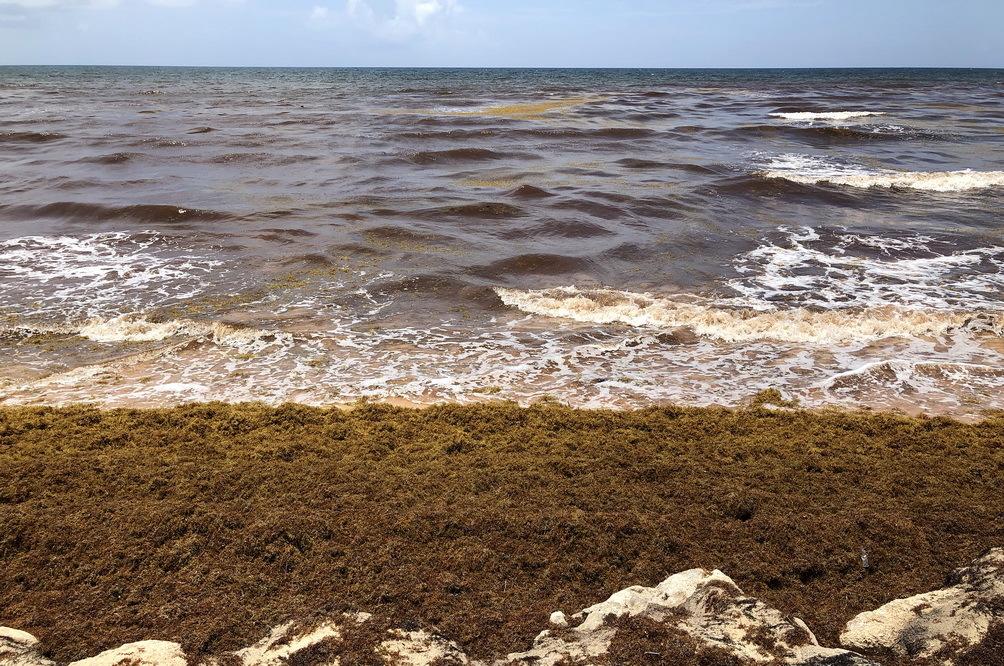 墨西哥海岸遭马尾藻侵袭 海水变褐色
