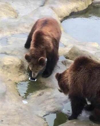 今年最昂贵的投喂!游客误将手机投喂棕熊 网友笑疯:苹果手机没毛病