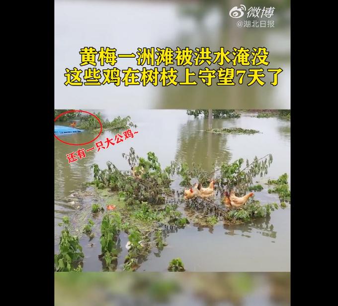【鸡坚强】鸡群被洪水围困树枝7天怎么回事?现场图曝光心酸又搞笑