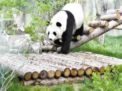 """国宝""""定居""""青藏高原了!目前4只大熊猫身体指标正常"""