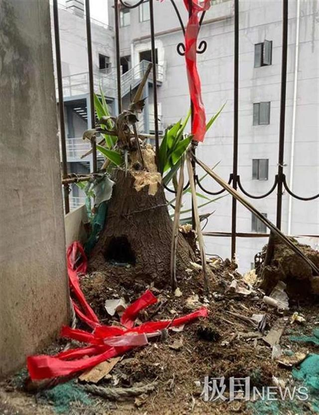 好家伙!离家六年阳台竟长出两棵大树,网友:扎心了