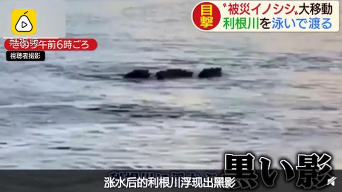 超强求生欲!日本野猪一家台风天火速撤离 网友:避险做得比人类还好